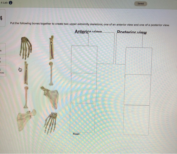 Saved Lab Put the following bones together to create two upper extremity skeletons, one of an anterior view and one of a post