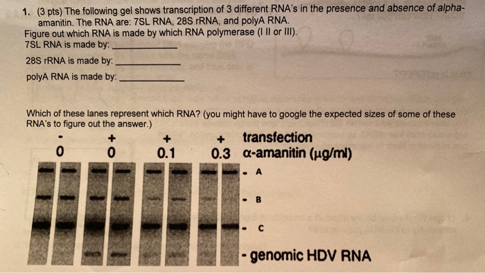 1. (3 pts) The following gel shows transcription of 3 different RNAs in the presence and absence of alpha- amanitin. The RNA